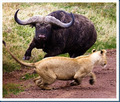 buffalo_chases_lion