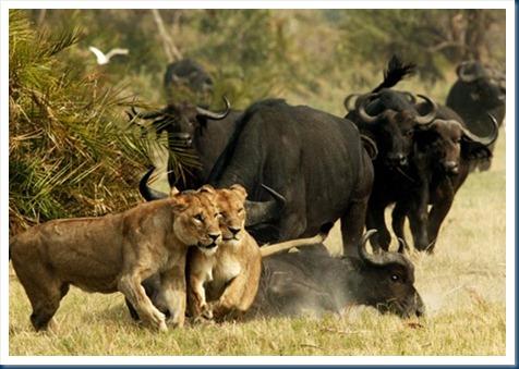 cape-buffalo-475