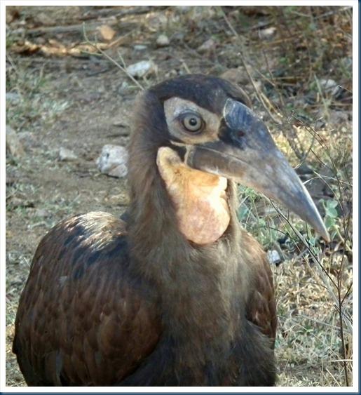 imm S ground hornbill