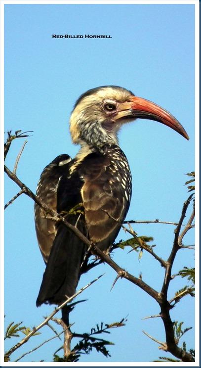 redbilled hornbill