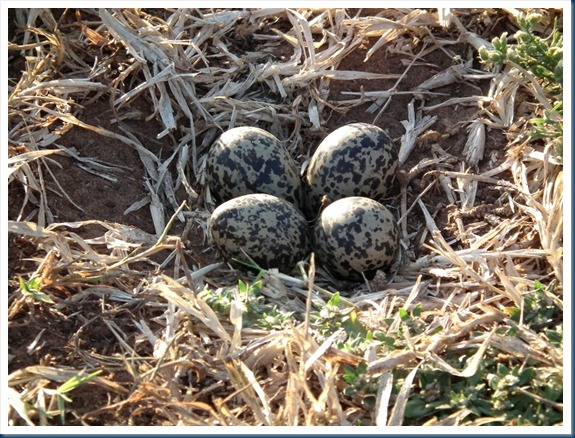 blacksmith lapwing eggs