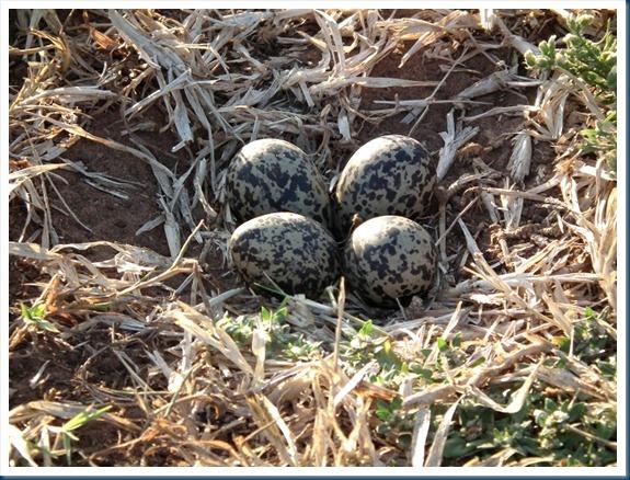 blacksmith lapwing eggs