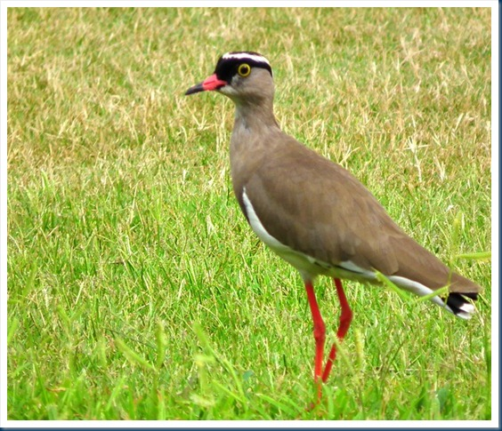 Crowned lapwing 2