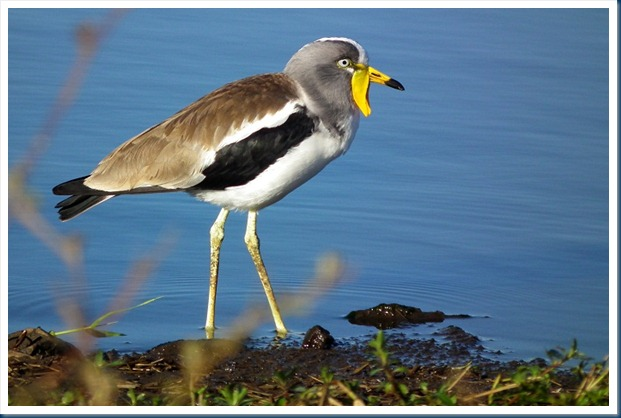 white crown lapwing