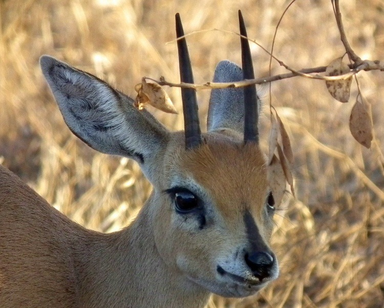 Steenbok… a small an...