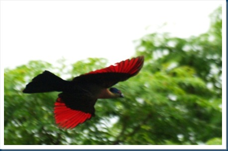 Turaco_Purple-crested_1