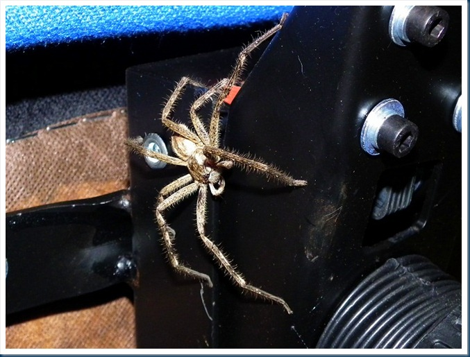 Nursery-web spider.