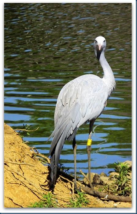 tania.. blue crane 003