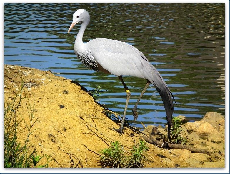 tania.. blue crane 005