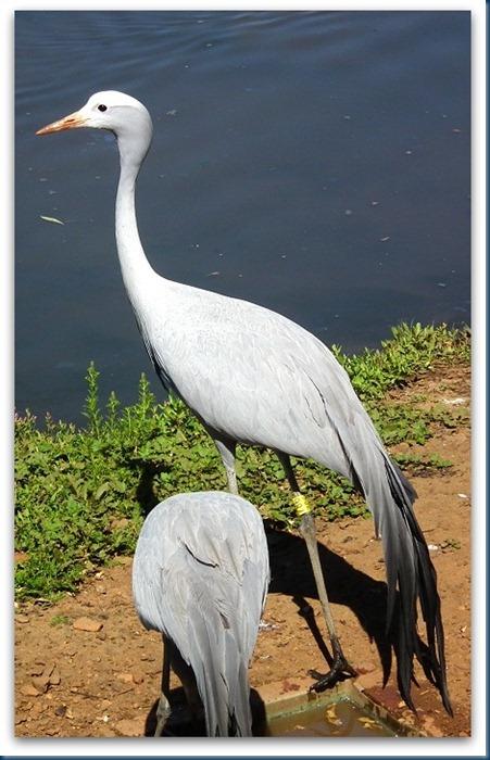 tania.. blue crane 104
