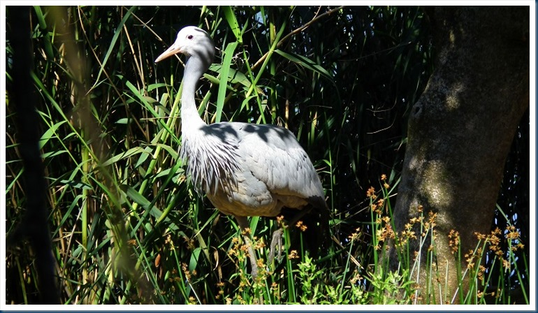 tania.. blue crane 002