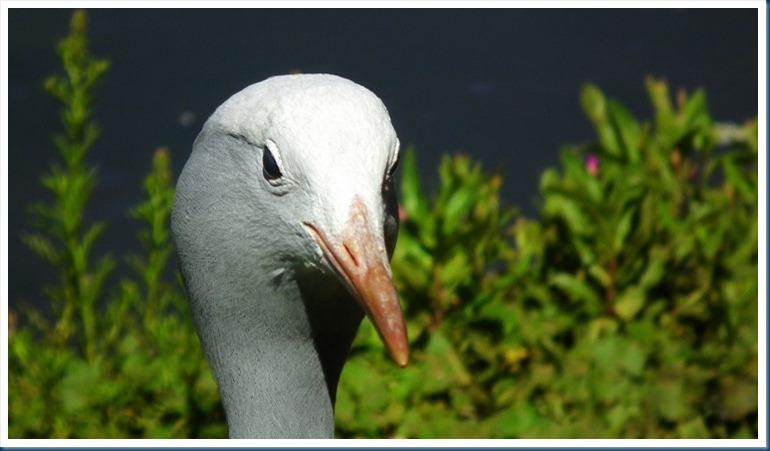 tania.. blue crane 101