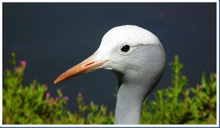tania.. blue crane 102