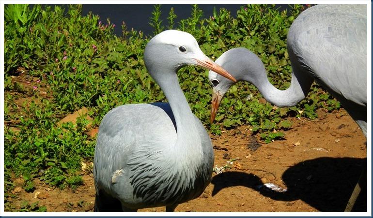 tania.. blue crane 103