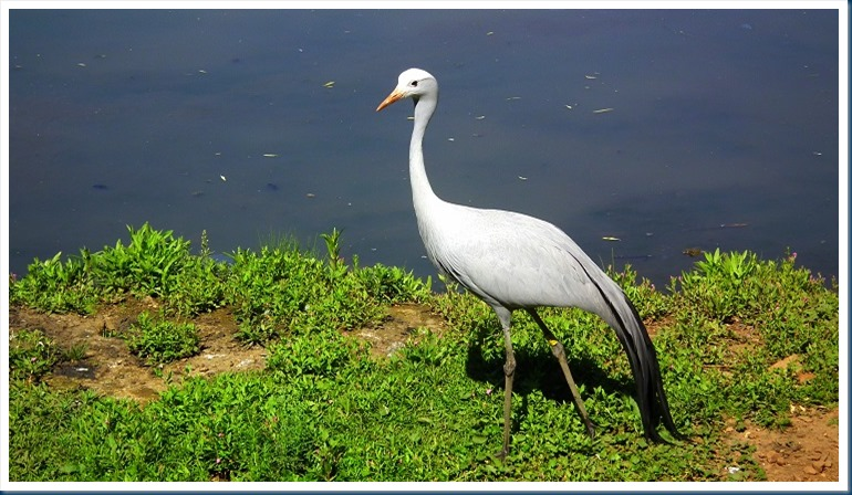 tania.. blue crane 106