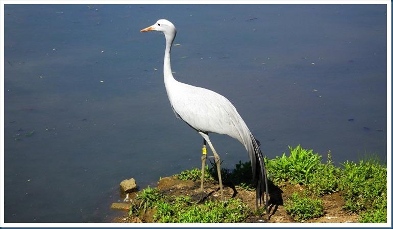 tania.. blue crane 108