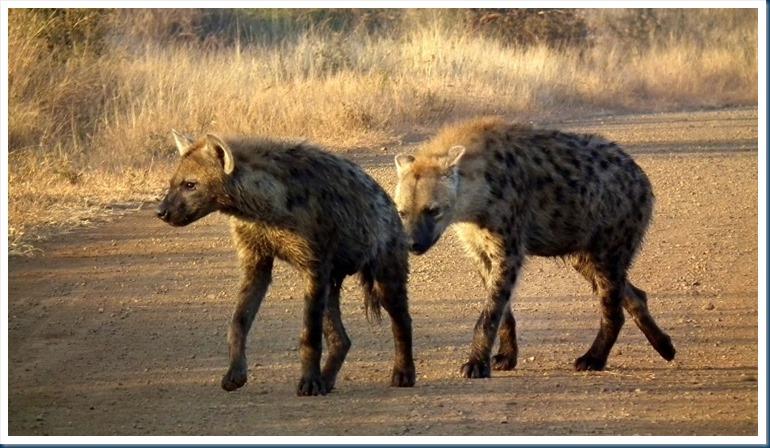 Hyena Strange Animals Actually The Photographic Journey Of