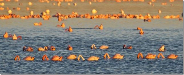 12. flamingos_736_300_80auto_s
