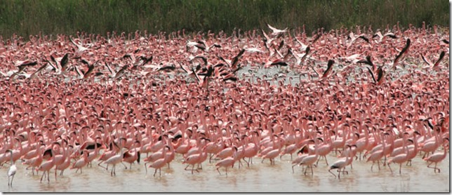 see-flamingos-at-kamfers-dam_main